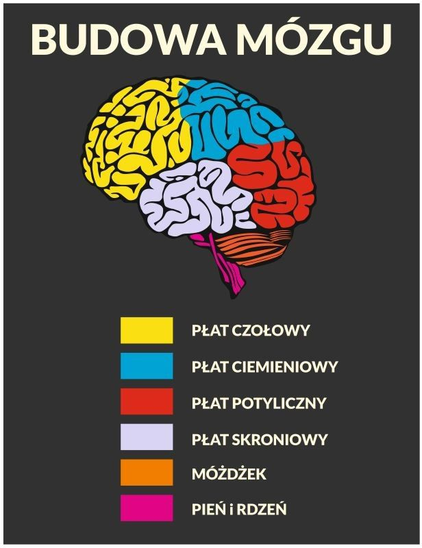 Naklejka na ścianę: Budowa mózgu